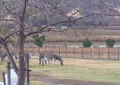EC Zebras 2 (Medium)