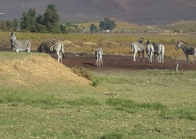 Zebras (Medium)